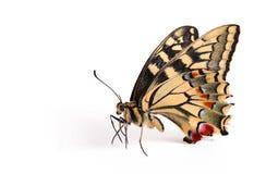 Uma borboleta grande Fotografia de Stock