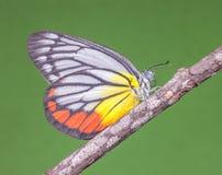 Uma borboleta - Jezebel pintado Fotos de Stock Royalty Free