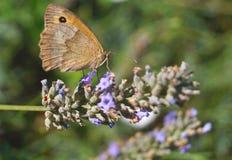 Uma borboleta na flor Fotografia de Stock