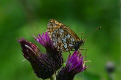 Uma borboleta pequena em uma flor do cardo seca as asas Imagens de Stock