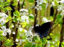 Uma borboleta preta do swallowtail espalha suas asas ao alimentar no néctar da flor fotografia de stock