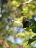 Uma borboleta roxa Vermelho-manchada curiosa imagens de stock royalty free