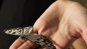 Uma borboleta senta-se disponível, as asas de um inseto suas asas e os movimentos suas antenas filme