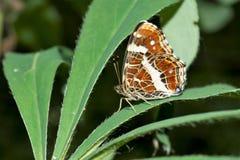 Uma borboleta senta-se em uma folha larga de uma planta verde, um inseto bonito em um ambiente natural, fundo abstrato foto de stock