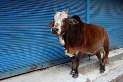 Uma Bull que está na frente das lojas fechados Imagens de Stock