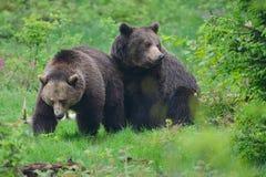 Uma cópula de ursos marrons fotos de stock royalty free