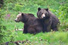 Uma cópula de ursos marrons imagem de stock