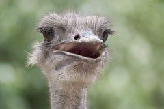 Uma cabeça da avestruz imagem de stock