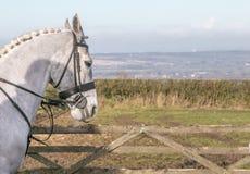 Uma cabeça de cavalos brancos Fotos de Stock Royalty Free