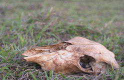 uma cabeça de esqueleto da vaca na exploração agrícola Fotos de Stock Royalty Free