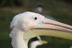 Uma cabeça do pelicano Foto de Stock Royalty Free