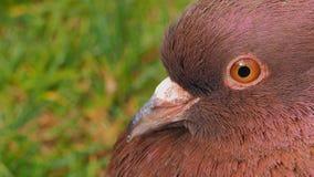 Uma cabeça do pombo imagens de stock