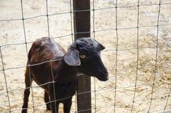 Uma cabra Imagens de Stock Royalty Free
