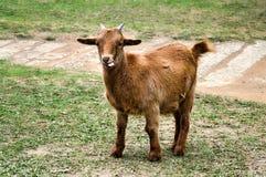 Uma cabra alaranjada pica sua língua para fora, opinião completa do corpo Imagem de Stock