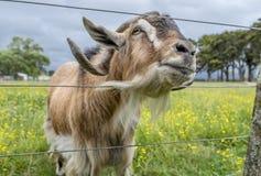 Uma cabra amigável passa sua cabeça através de uma cerca fotografia de stock