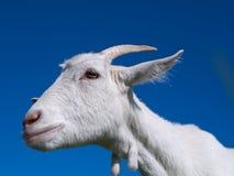 Uma cabra branca Imagens de Stock