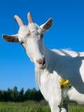 Uma cabra branca Fotografia de Stock