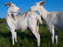 Uma cabra branca Fotos de Stock