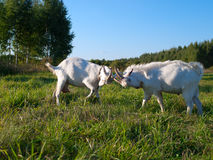 Uma cabra branca Fotografia de Stock Royalty Free