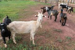 Uma cabra branca está lateralmente entre cabras pretas em uma pena da cabra no verão fotografia de stock