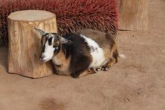 Uma cabra coloca confortavelmente por um coto e por uma grande escova do rolo Fotos de Stock Royalty Free