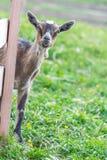 Uma cabra com um olhar na câmera fotografia de stock