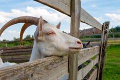 Uma cabra curiosa com grandes chifres imagem de stock