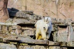 Uma cabra da neve é um Oreamnos latino do mamífero fender-hoofed americano no jardim zoológico de Moscou Rússia fotografia de stock royalty free