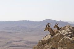 Uma cabra de montanha com chifres bonitos e duas cabras novas encontram-se sobre Imagem de Stock Royalty Free