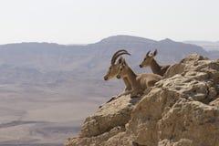 Uma cabra de montanha com chifres grandes e duas cabras novas descansam no s Imagens de Stock Royalty Free
