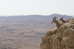 Uma cabra de montanha com grandes chifres e duas cabras novas descansam no Imagens de Stock