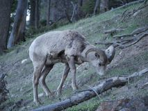 Uma cabra de montanha de vista confusa Fotos de Stock Royalty Free