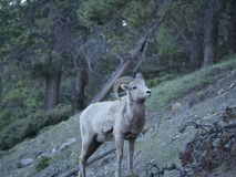 Uma cabra de montanha de vista confusa imagens de stock royalty free