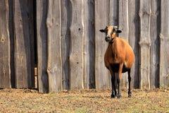 Uma cabra em um parque imagem de stock