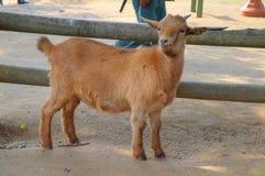 Uma cabra está na frente de uma cerca e olha bonito Imagens de Stock Royalty Free
