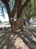 Uma cabra horned longa só imagem de stock royalty free