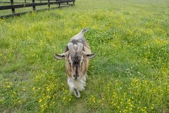 Uma cabra marrom peludo anda para o fotógrafo foto de stock royalty free