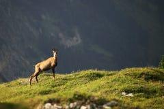 Uma cabra-montesa Imagens de Stock Royalty Free