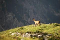 Uma cabra-montesa Fotos de Stock Royalty Free