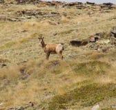 Uma cabra-montesa surpreendida Imagem de Stock