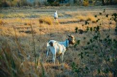 Uma cabra no campo Imagens de Stock Royalty Free