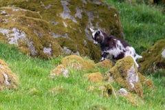 Uma cabra nova escala em uma rocha coberta musgo em Scotlan do sul imagem de stock royalty free