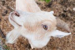 Uma cabra olha acima curiosamente Foto de Stock