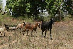 Uma cabra que conduz a maneira Fotos de Stock