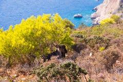 Uma cabra selvagem sob um arbusto pela costa de mar em Grécia foto de stock
