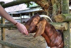 Uma cabra vermelha é mão Fed Grain por um visitante Imagens de Stock