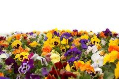 Uma cama de flor colorida. Fotografia de Stock Royalty Free