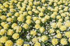 Uma cama de flor com as tulipas brancas de creme da peônia misturadas com a anêmona branca Anemone Blanda imagem de stock