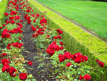 Uma cama de flor de rosas Foto de Stock Royalty Free