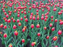 Uma cama de flor pitoresca das tulipas no parque Imagem de Stock Royalty Free